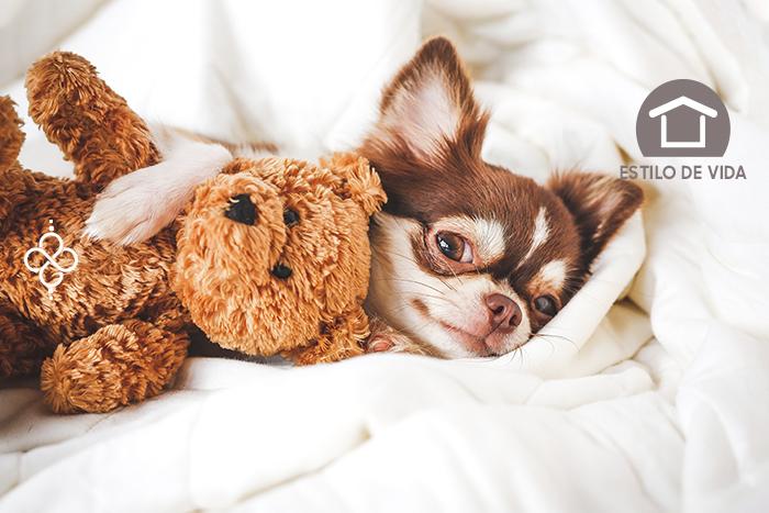 3 razas de perros ideales para vivir en departamento