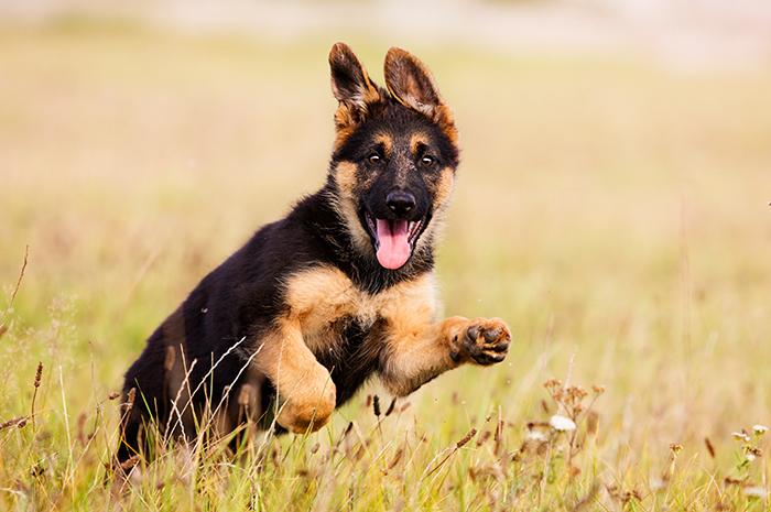 pastor alemán cachorro