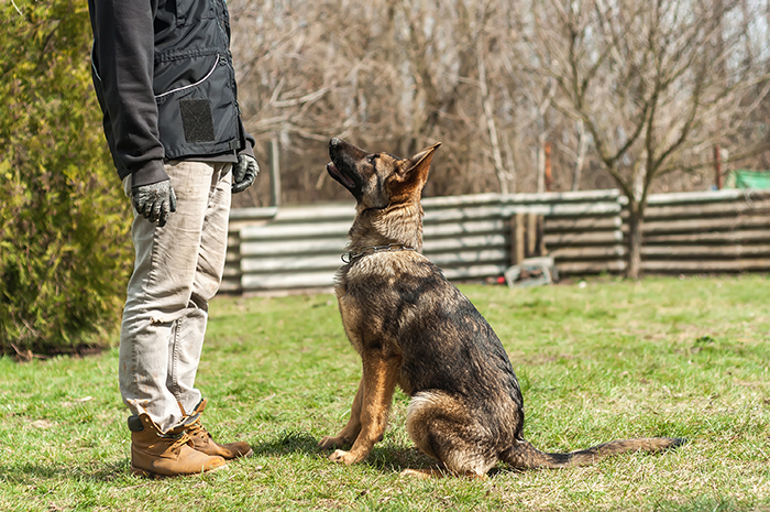 pastor alemán entrenamiento