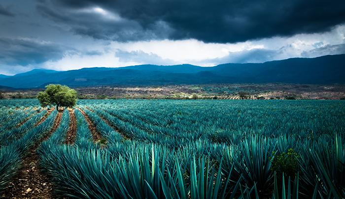 tequila de agave